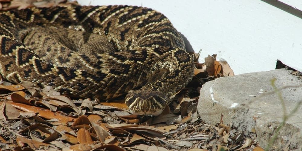 big and long rattlesnake