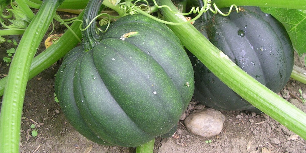 winter squash growing