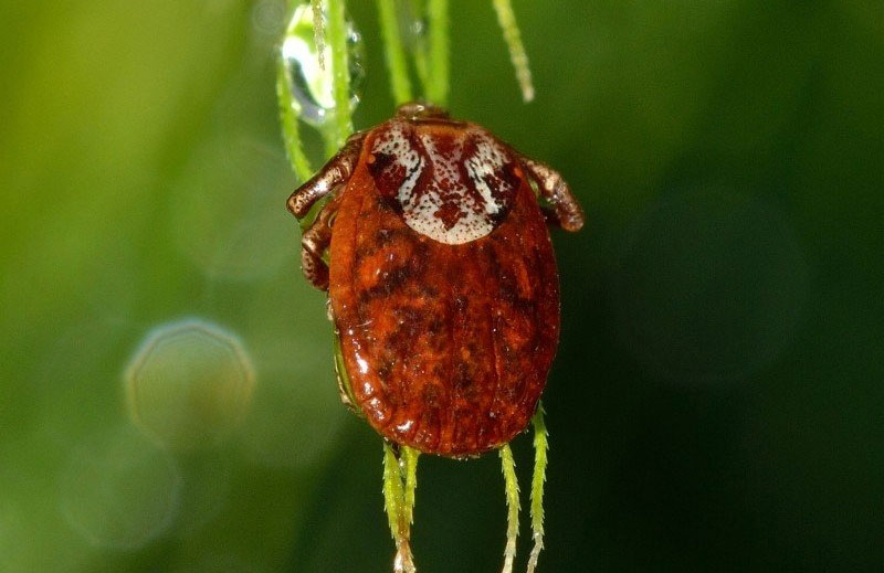 reddish brown tick insect